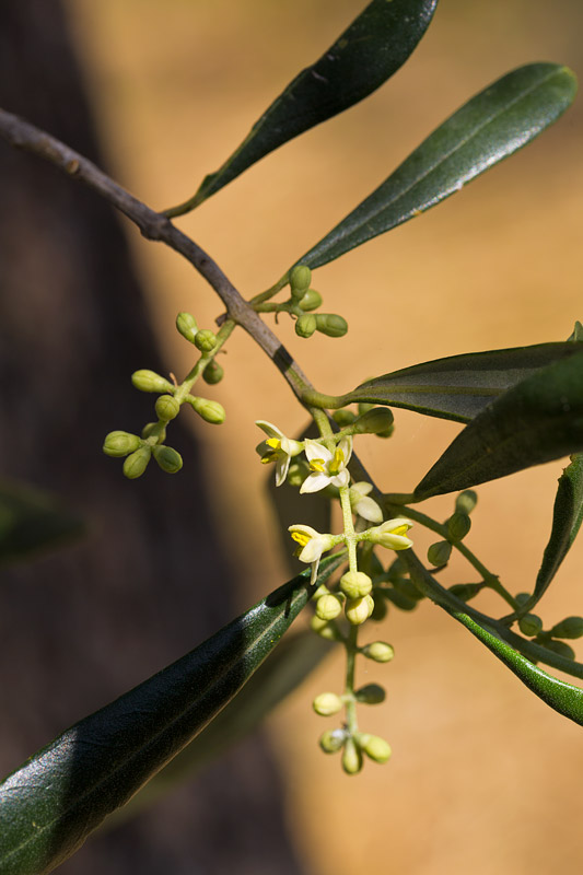 Olive flower bloom, 14.54 p.m.