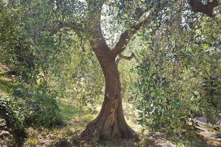 Albero di olivo, 14.56 p.m.